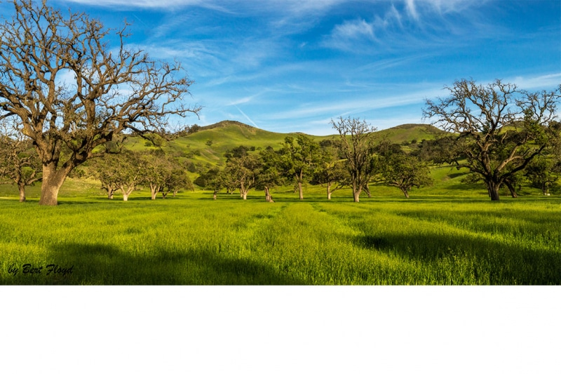 Standing Strong:  Valley Oaks, Los Olivos, California